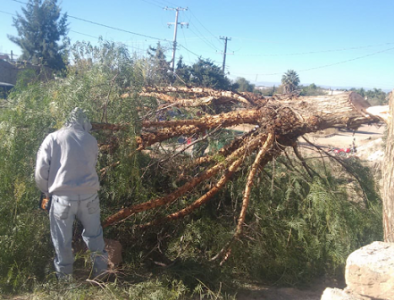Retiran árboles que podrían causar daños en viviendas de poanenses