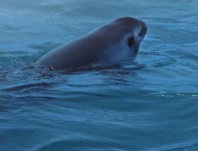 Quedan 10 ejemplares de vaquita marina